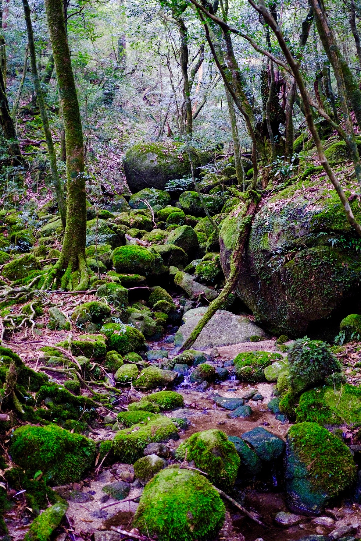 The Ethereal Island of Yakushima