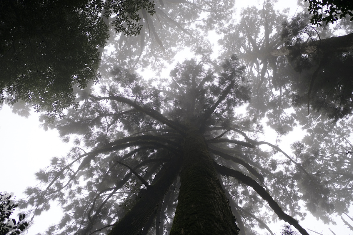 Some of the oldest trees in the world