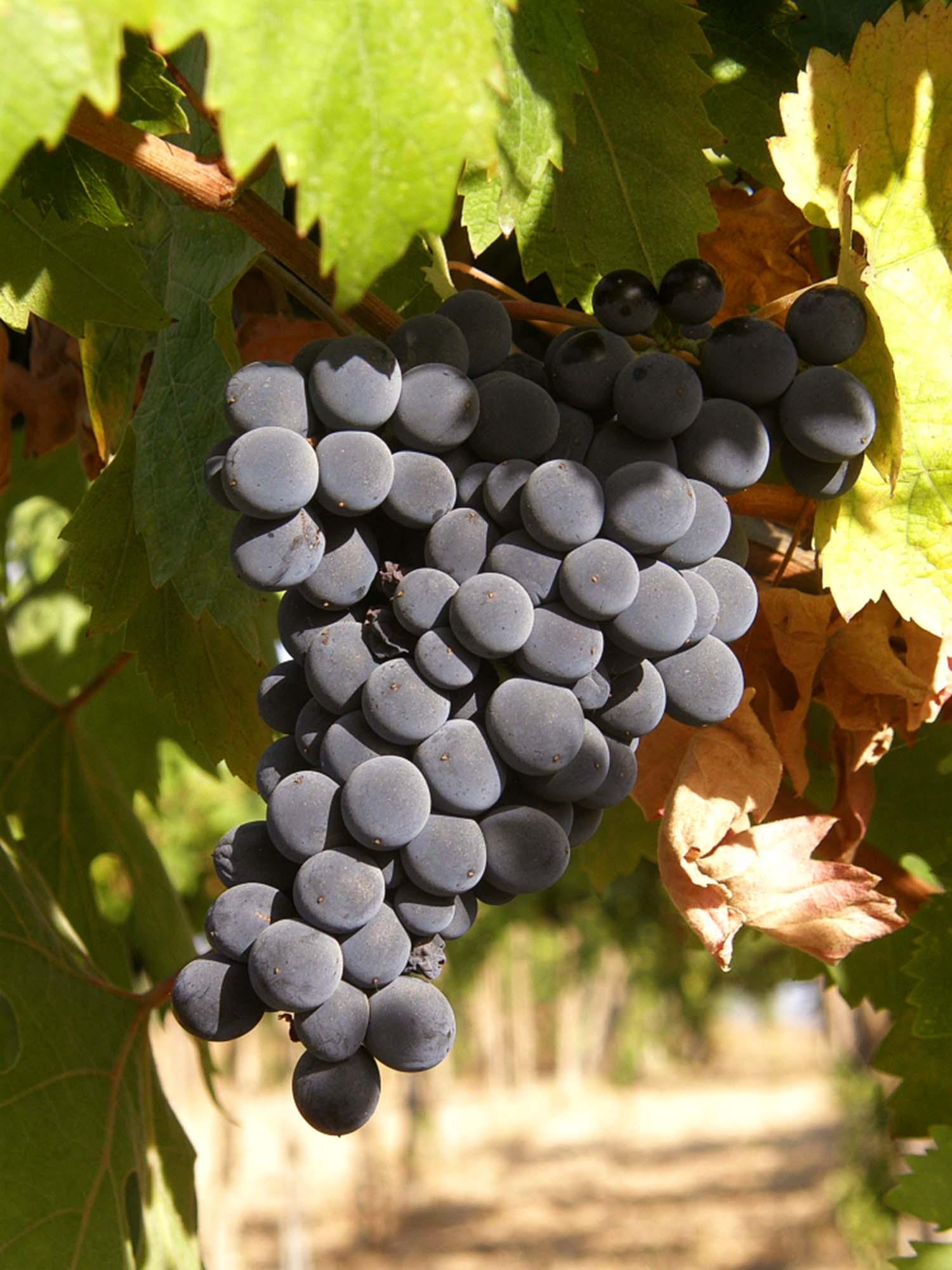 Sleep by a Vineyard