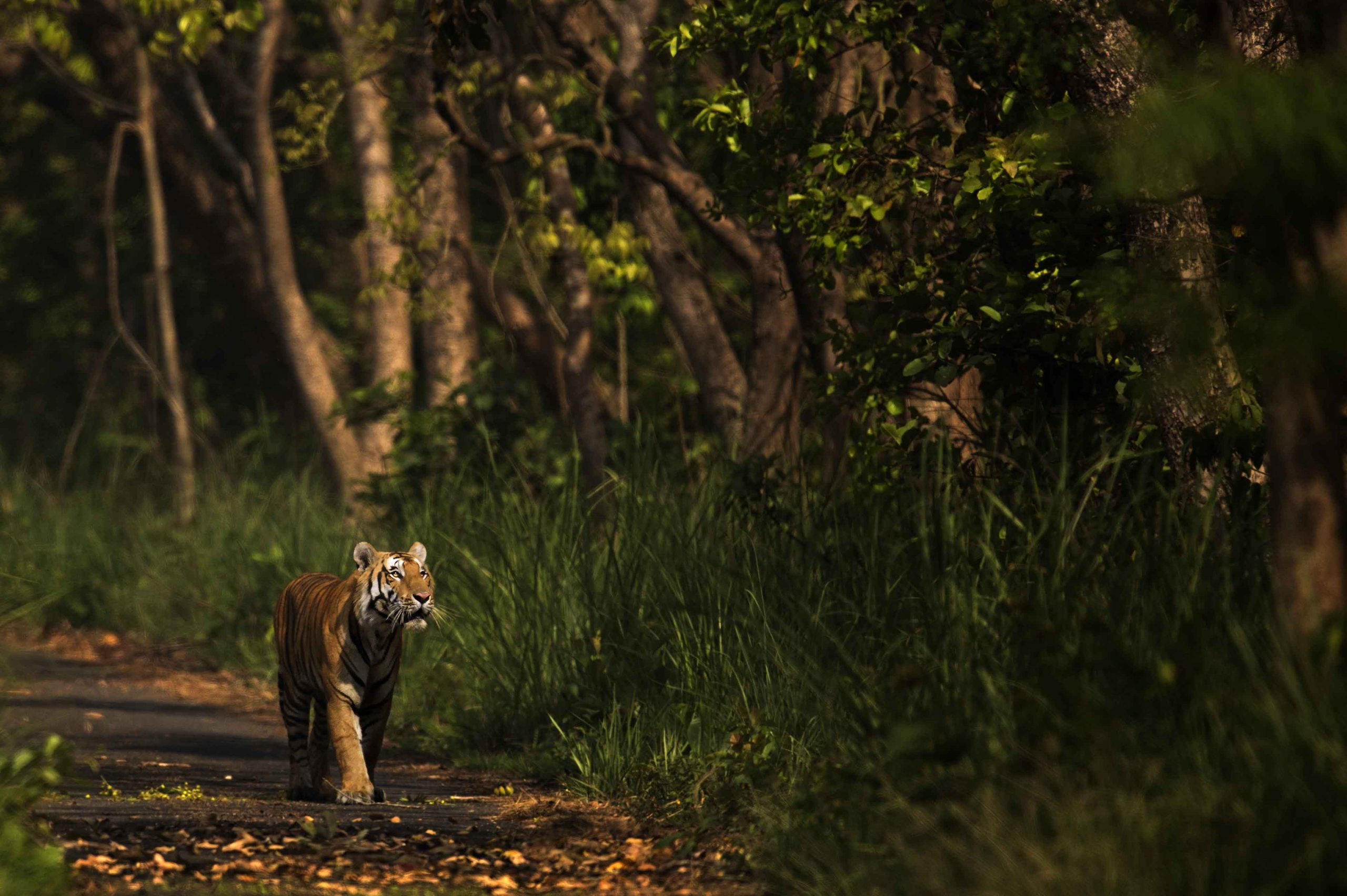 Tigers in Philibhit