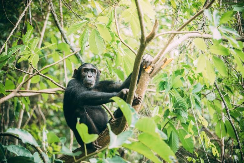 Chimpanzee Trekking in Mahale Mountains
