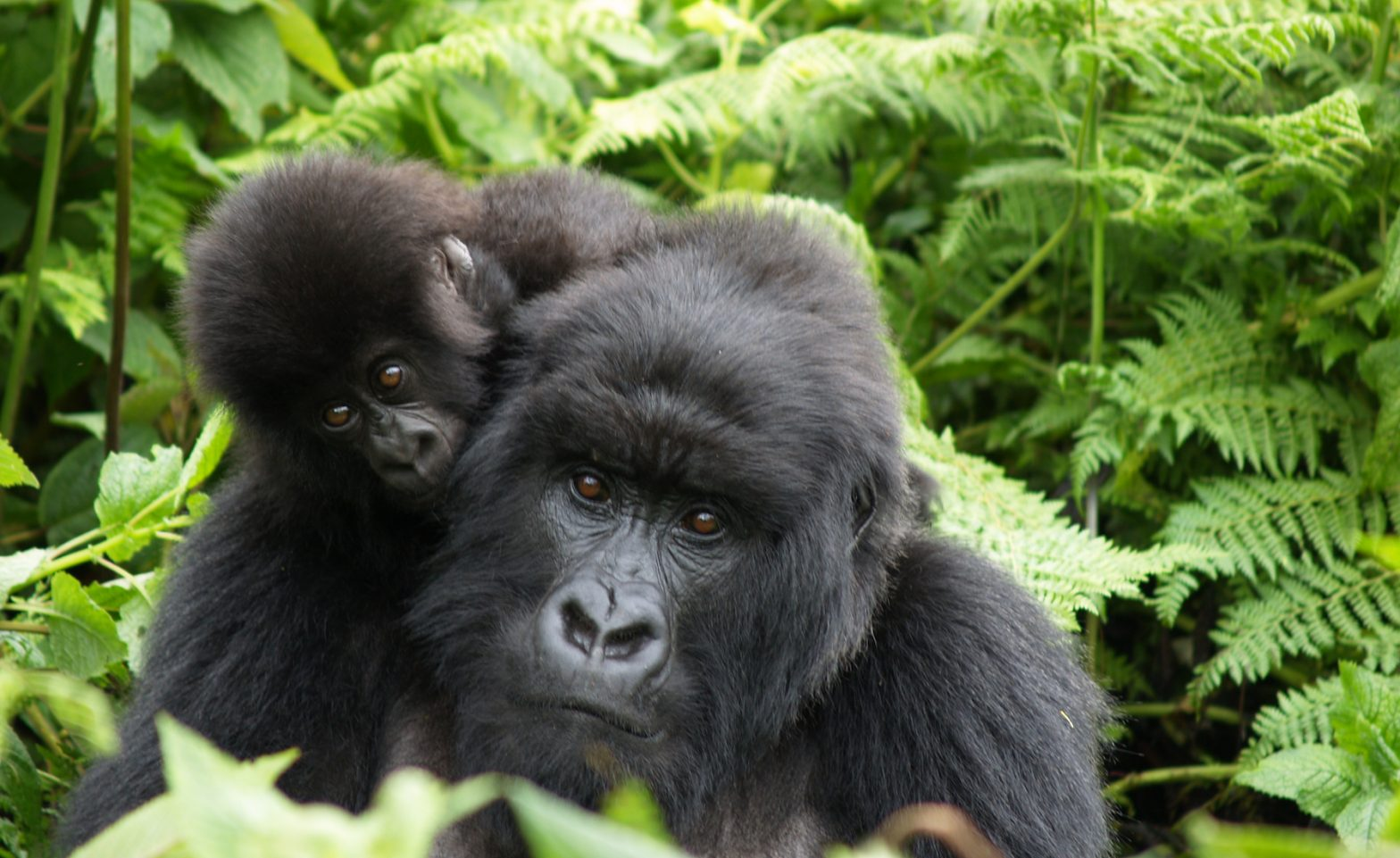Rwanda gorillas mother and daughter