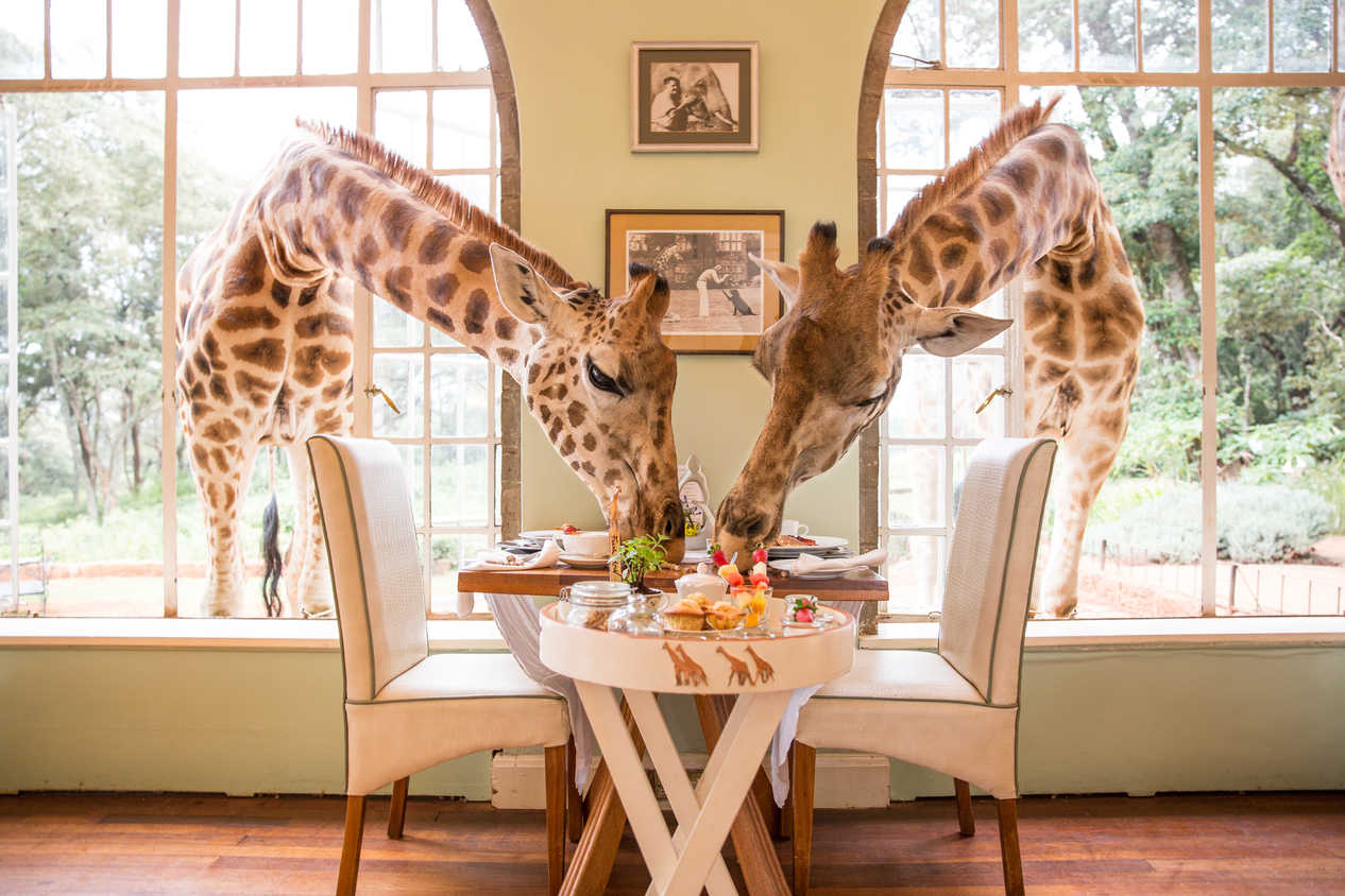 Breakfast with Giraffes