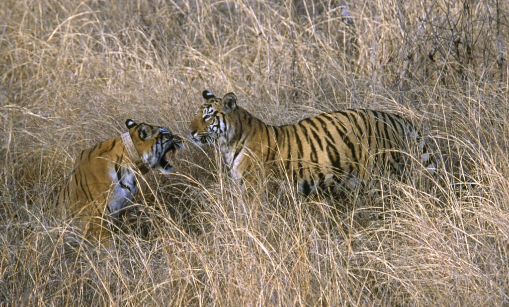 india-tiger-conservation-3