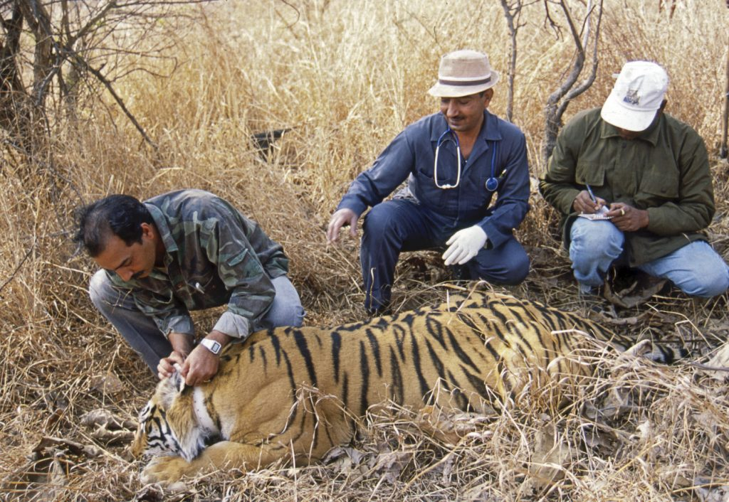 india-tiger-conservation-4