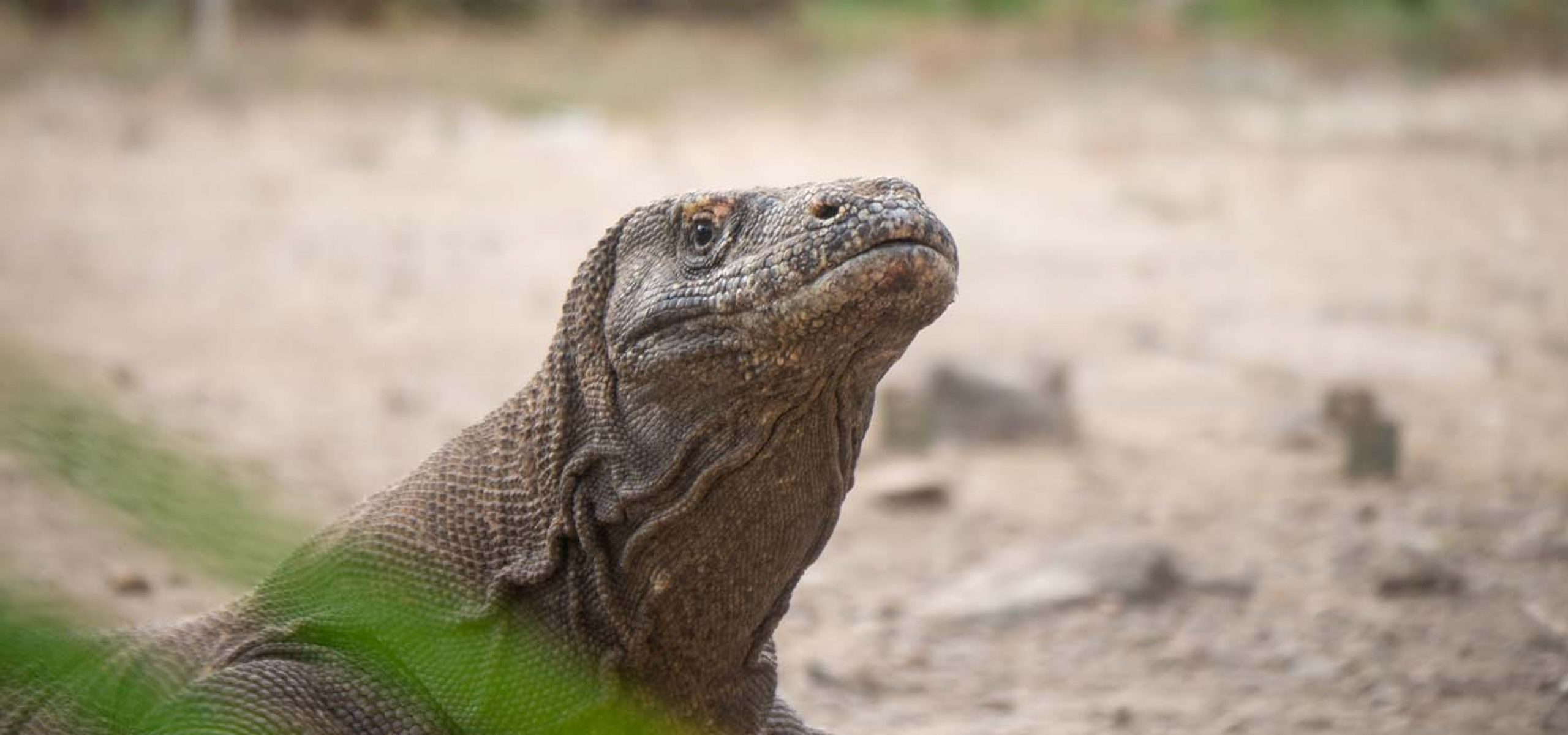 Indonesia-Komodo Dragons