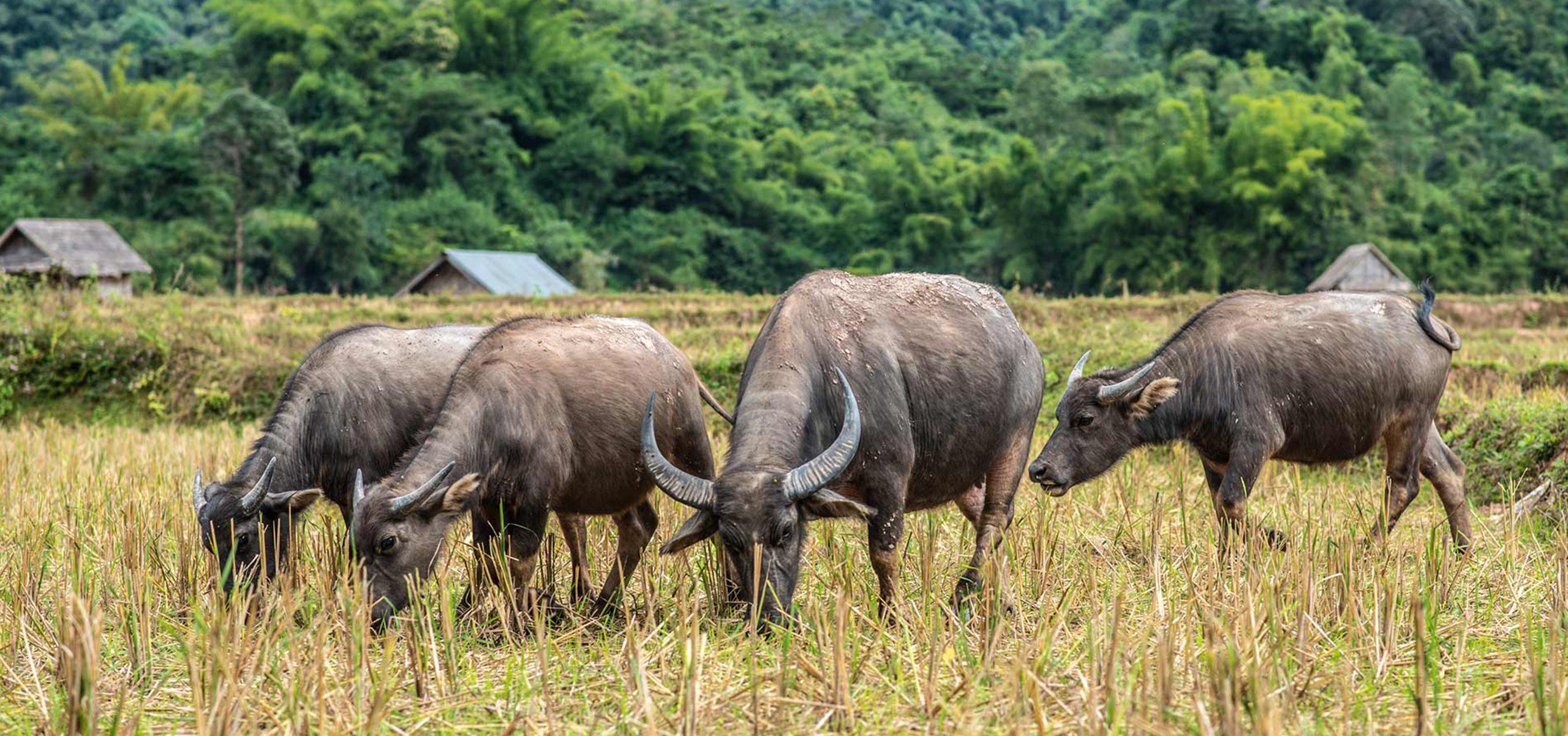 Laos-Muang La-Buffalos