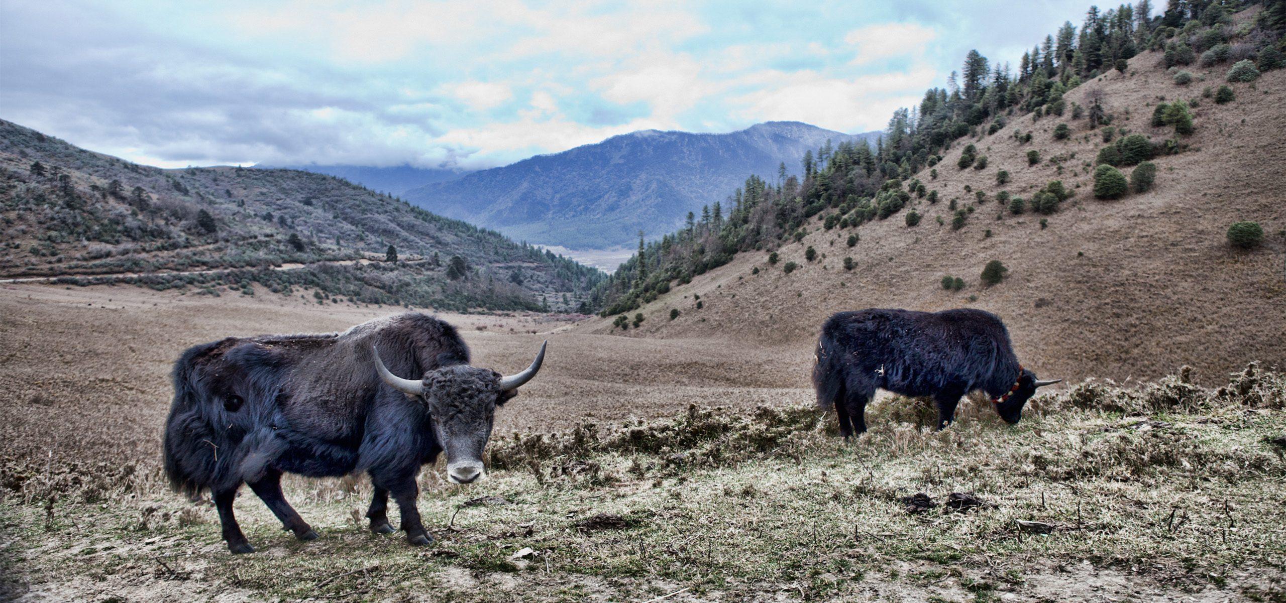 Bhutan - Yaks