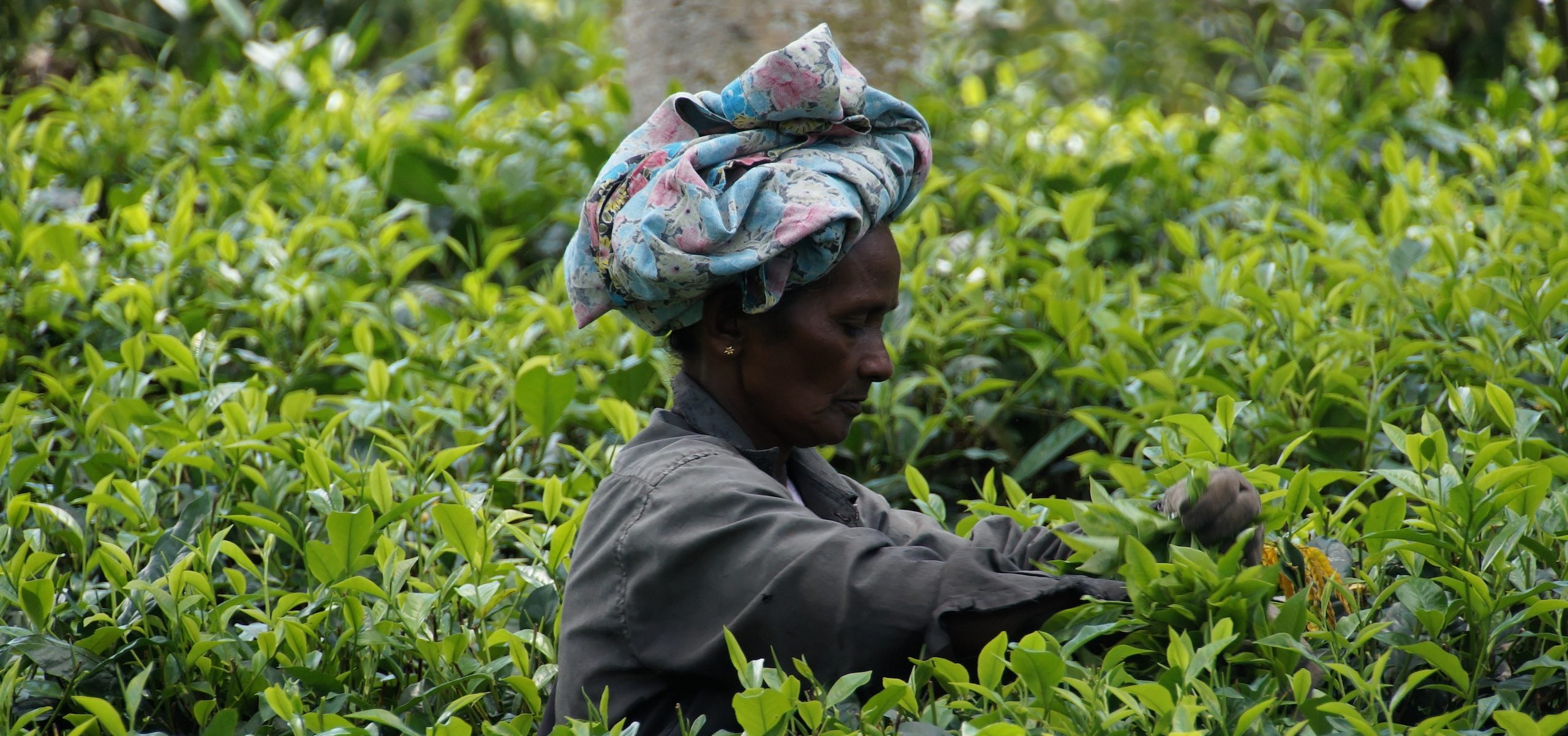 Sri Lanka_Tea Picker