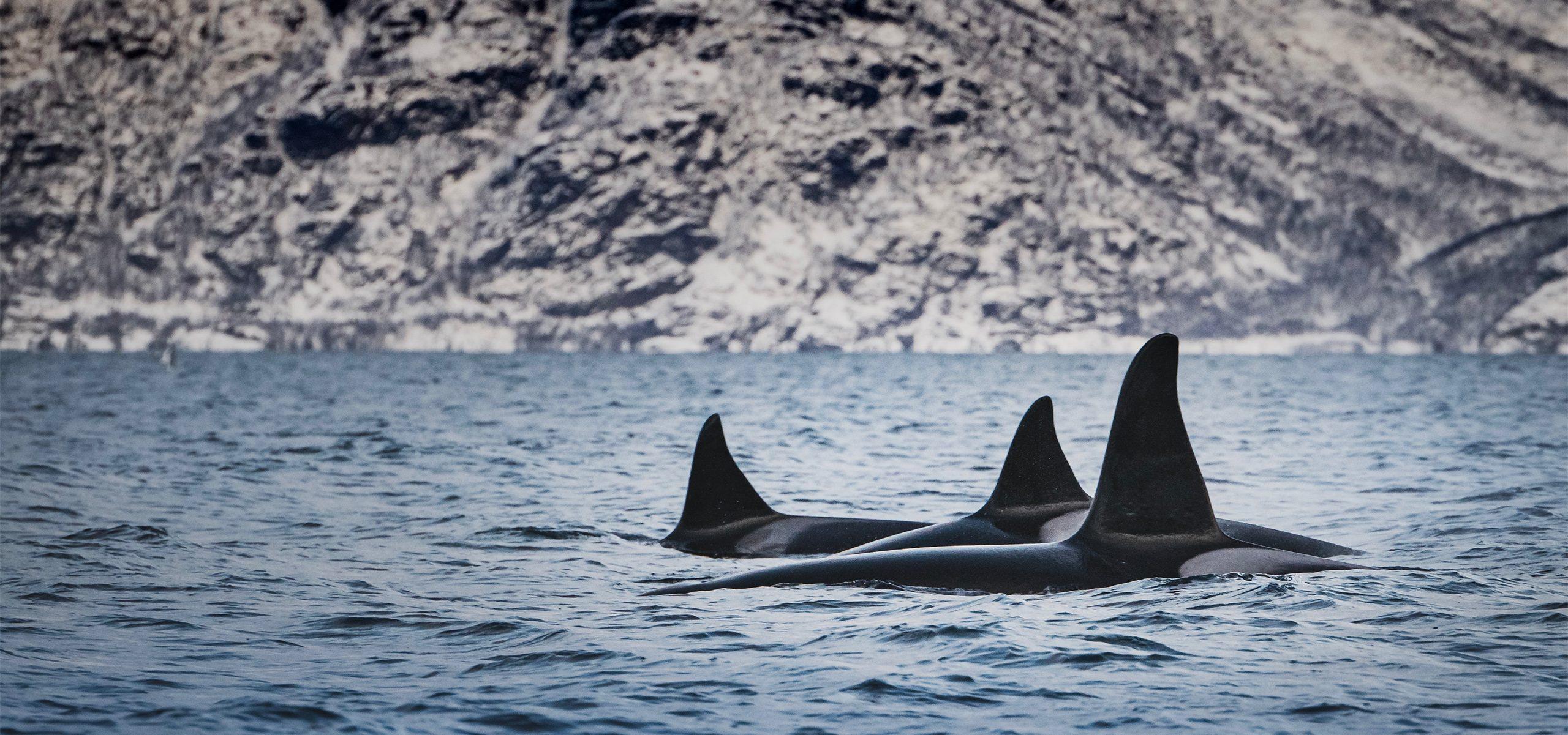 Norway - Orcas