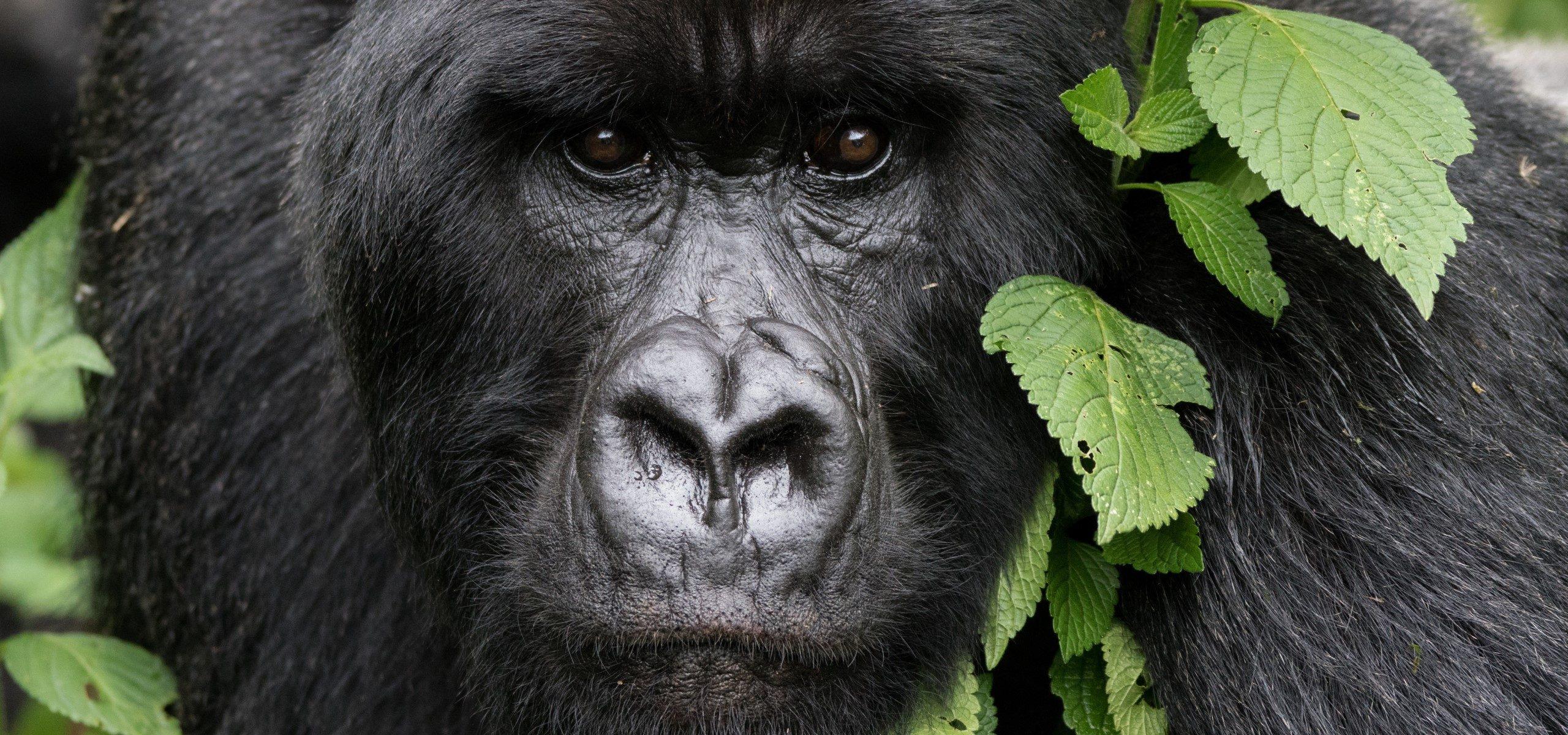 Rwanda - Volcanoes - Bisate Mountain Gorilla