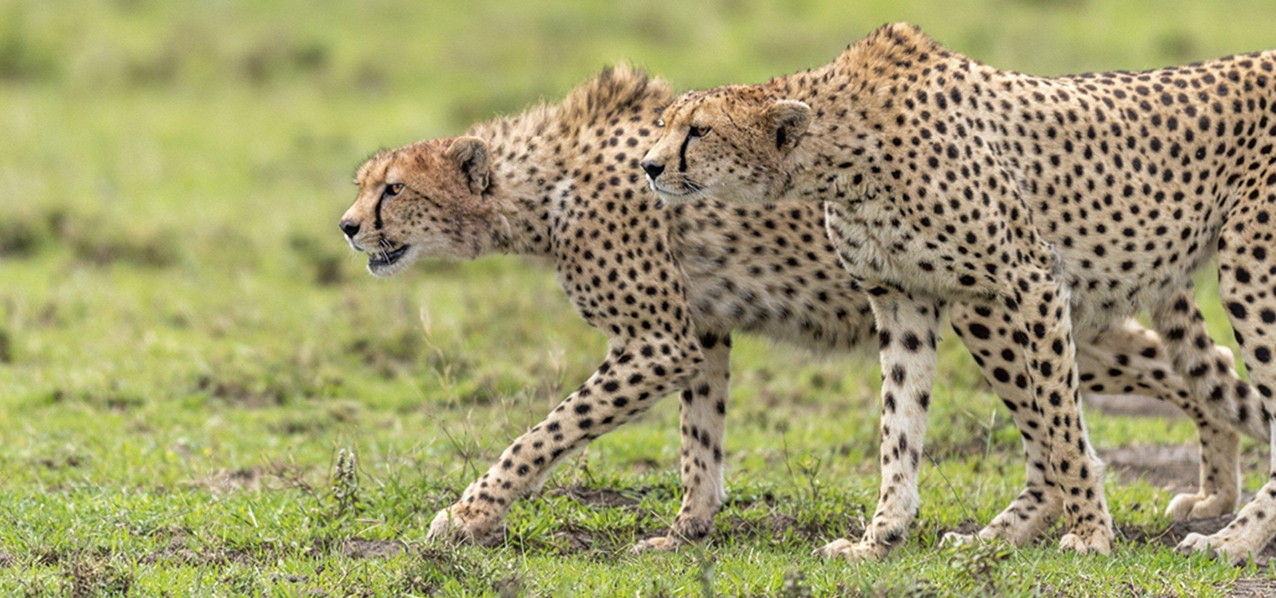 Tanzania - Serengeti Cheetah
