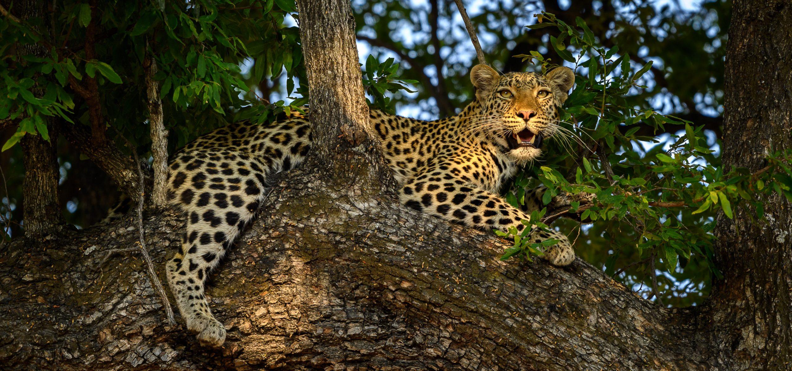 Botswana - Okavango Delta Leopard